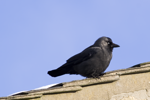 Jackdaw house Feb 09