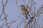chaffinch Swallows wood 09
