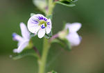 thyme leaved speedwell
